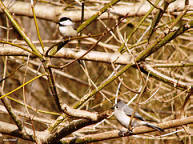 chicadee and titmouse hide in branches