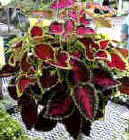 coleus from tip cuttings
