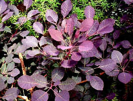 Purple Smokebush - cotinus royal purple